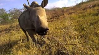 Baby rhino Gertjie exploring his surroundings at the Hoedspruit Endangered Species Centre