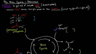 Urea Cycle (Part 1 of 5) - Overview