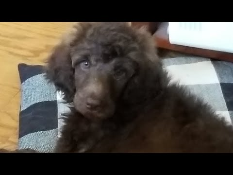 Picking Up Our Standard Poodle Puppy Velocity 8 Weeks Old