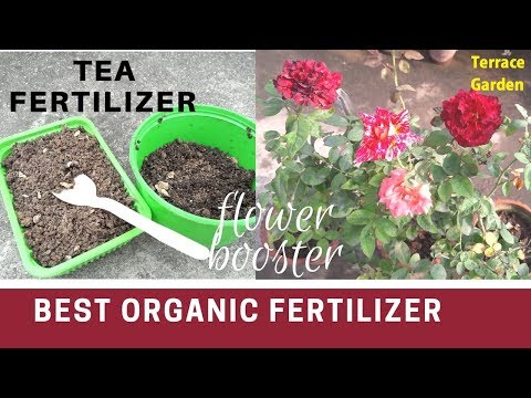 Best Organic Fertilizer For Rose Plants//Tea Fertilizer(चाय की पत्ती का खाद)//Used Tea Rose Booster.