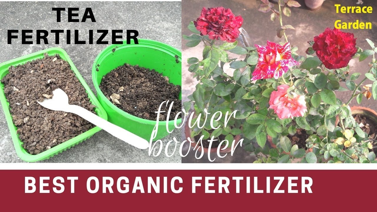 How to fertilize roses 1