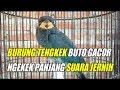 Burung Masteran Tengkek Buto Gacor Suara Jernih  Mp3 - Mp4 Download