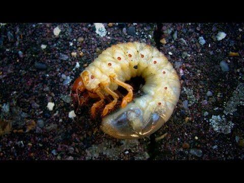 Подножный корм: личинка майского жука