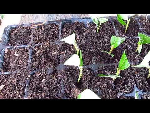 Как размножается голубика садовая видео