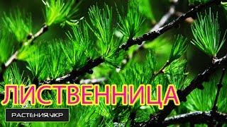Лиственница / хвойные растения(, 2015-05-07T17:28:58.000Z)