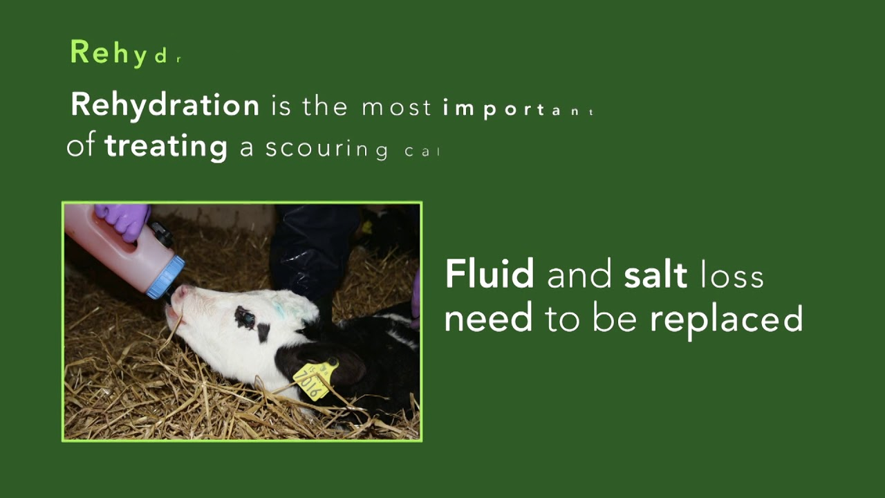 Treatment of the Scouring Calf