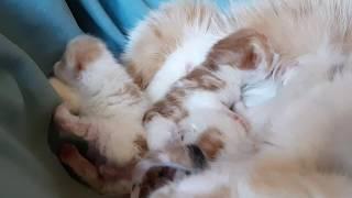 Котята экзоты