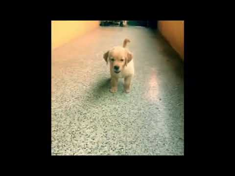 Maari BGM - Golden Retriver