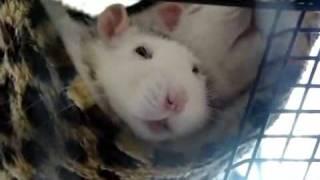 Почему важно заводить двух крыс