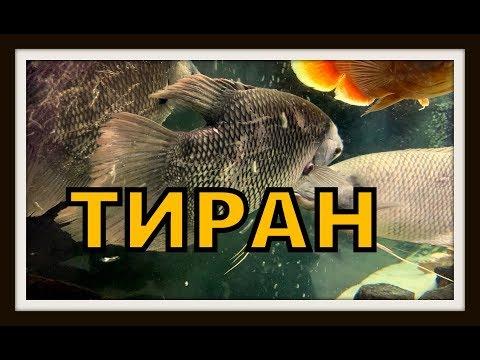 Рыбка гурами. Промысловые гурами