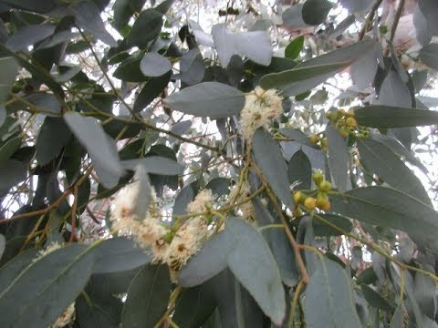 Cider Gum Eucalyptus Tree in Bloom