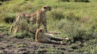 Animal Documentary National Geographic   CHEETAH, THE KILLING RACE Classic!!! HD 2016