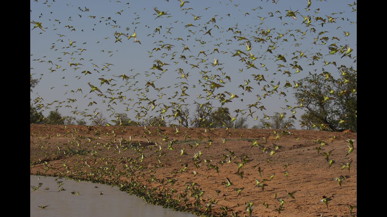Biggest Swarm of Budgies