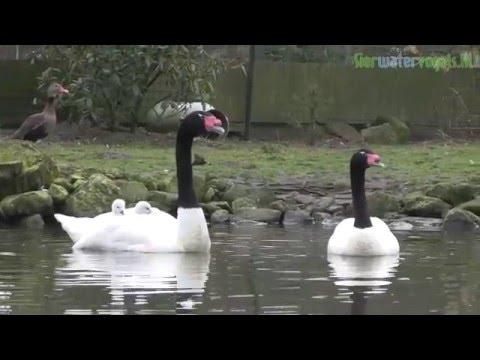Sierwatervogels.NL - Black-necked Swan (Cygnus melancoryphus)