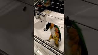 Попугай Каик Кузя балуется