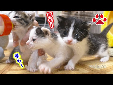 The battle for milk between the three kittens has begun.[CatsLive Miaou] from YouTube · Duration:  3 minutes 23 seconds