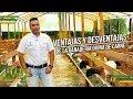 Ventajas y Desventajas de la Ganadería Ovina de Carne - Corderos - TvAgro por Juan Gonzalo Angel