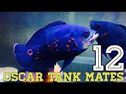 12 Type Of Oscar Fish Tank Mates
