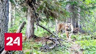В Хабаровском крае заметили краснокнижного тигра - Россия 24