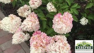 Хотите вырастить шикарные гортензии в саду? Делюсь своими секретами.