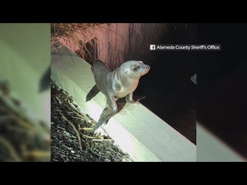 Sea lion pup rescued at Oakland International Airport