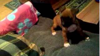 Boxer Cross Staffy Puppy