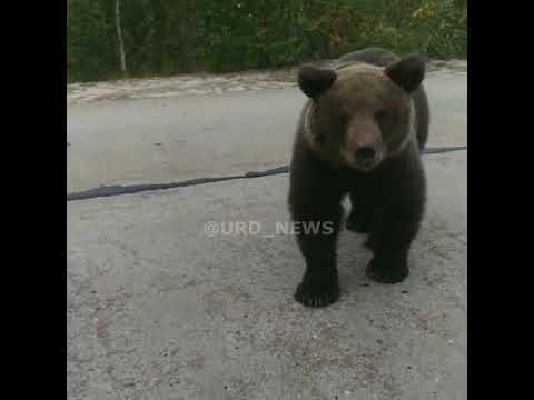 Медведь отламывает зеркало у авто, Губкинский