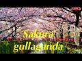 Yaponiyadagi Eng Chiroyli Daraxt Sakura Hanami Bayrami mp3