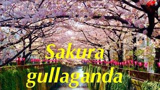 Yaponiyadagi eng chiroyli daraxt Sakura  Hanami bayrami.