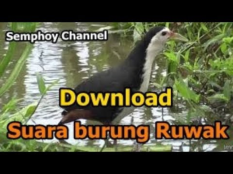 Download SUARA BURUNG RUAK SAWAH