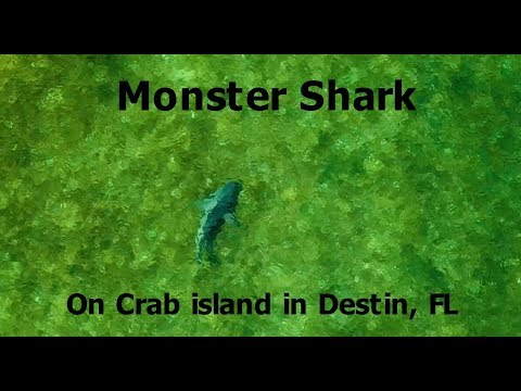 Big shark on crab island in Destin, Florida | Dji Mavic Pro