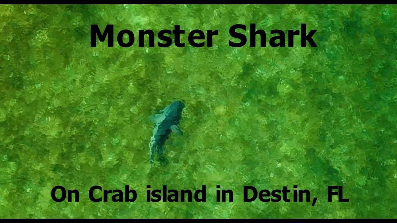 Shark At Crab Island