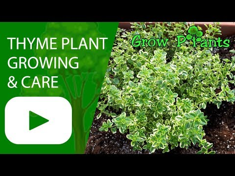 Thyme plant - Growing & care