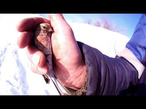 +18(Тут бывает матерятся) Ловля певчих птиц февраль 03 02 19