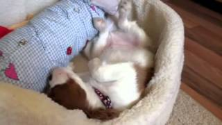 Cavalier King Charles Puppy Sleeping On Back