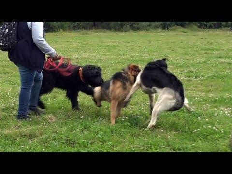 Когда собаки дерутся, что делать? Выпуск 10.