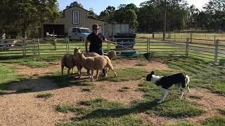 Mac -  8 months on sheep