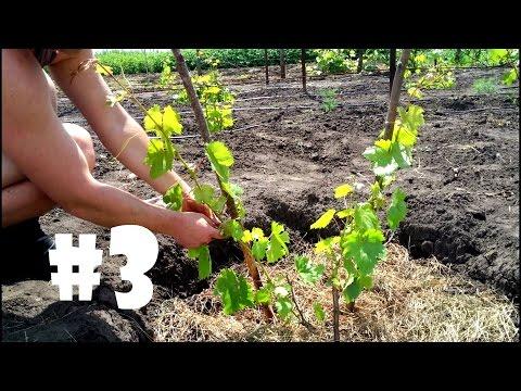 Первая обработка винограда весной