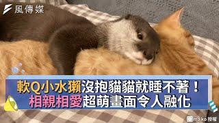 軟Q小水獺沒抱貓貓就睡不著!相親相愛超萌畫面令人融化