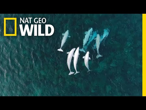 See Hundreds Of Beluga Whales Gathering In The Arctic | Nat Geo Wild