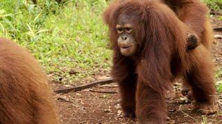 Rainy Season Gives Baby Orangutans Their Own Waterpark