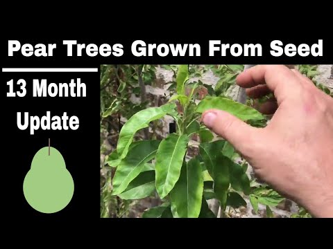 How To Grow Pear Trees From Seed 13 Months Old You