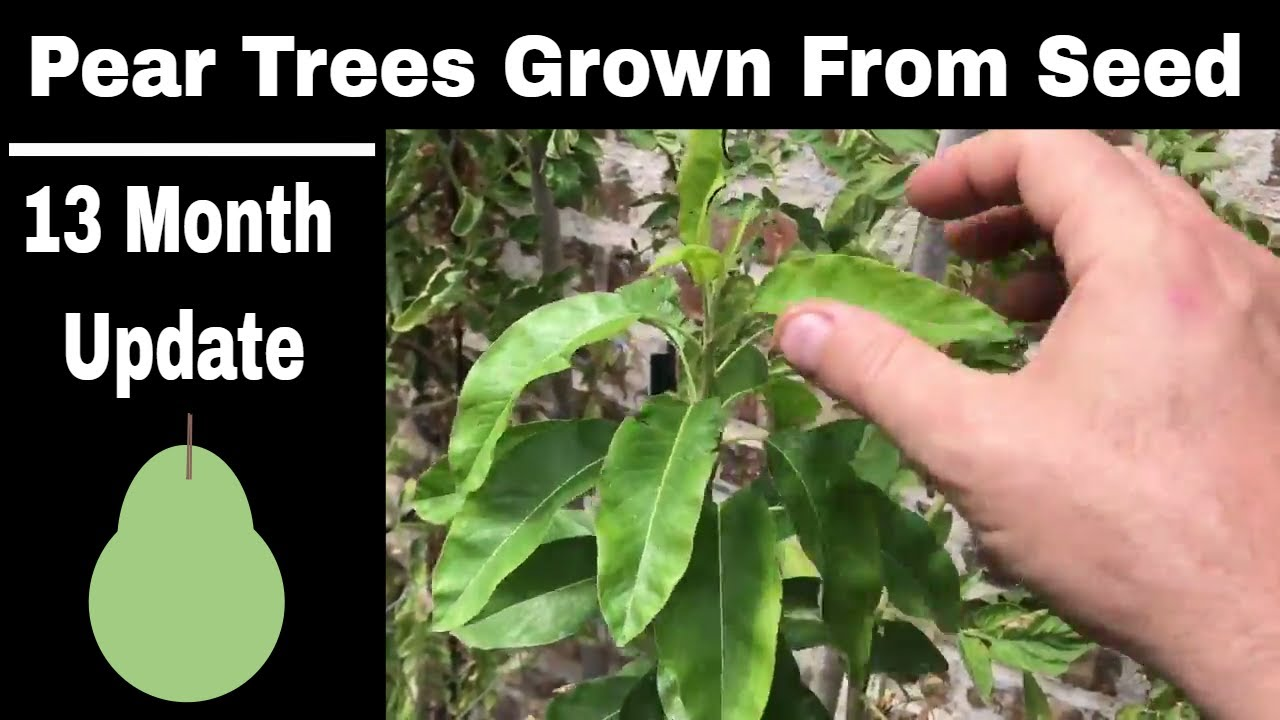 How To Grow Pear Trees From Seed 13 Months Old