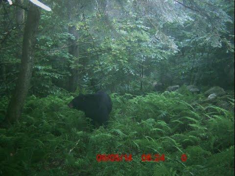 2014 Bear Hunt VT No Bait, Public Land