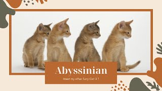 ❤AbyssinianCats|AbyssinianCats2020|Abyssinian breed|Histroy AbyssinianCats|cat breed| cats2020❤