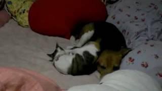 三毛猫(女の子)がビーグル犬(男)に恋してます♪いつもストーカーのようで...