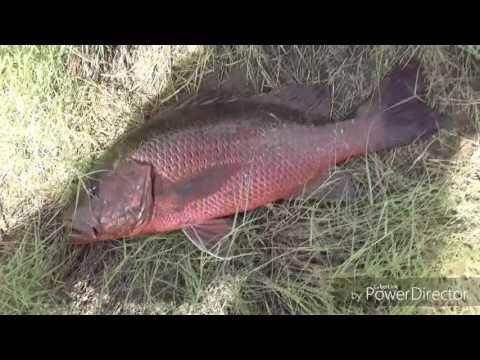 50 cm Mangrove Jack Catch n Cook (North Queensland)
