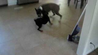 Staffordshire Bull Terrier & Boxer Playing