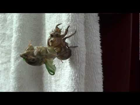 Amazing! Arkansas Cicada Emerging From It's Shell- Time Lapse