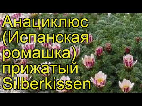 Анациклюс прижатый (Silberkissen). Краткий обзор, описание характеристик, где купить саженцы